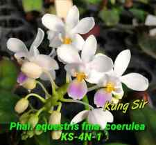 Phalaenopsis equestris 'KS-4N-1' Phal species KSM149 Mature size