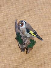 Stieglitz Distelfink  Kleinvogel  Singvogel  Taxidermy  Präparat Tierpräparat