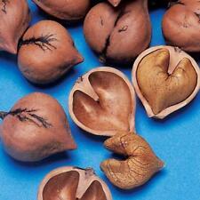 Heartnut(Juglans ailantifolia Cordiformis) 5 seeds