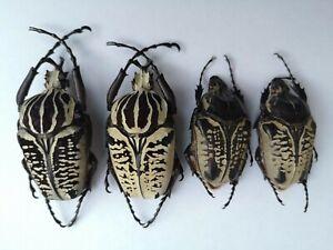 Clean 2 big pairs dark/white form Goliathus albosignatus 61mm & 61mm Cetoniinae