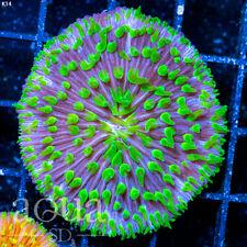 New listing Asd - 061 Alien Invader Plate Coral - Wysiwyg - Aqua Sd Live Coral Frag