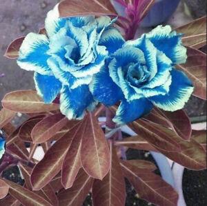Rose Adenium 5 Pcs Seeds Desert Sky Blue Double Petals With White Edge Flowers I