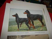 Louis A Fuertes Doberman Pinscher Manchester Terrier bookplate from 1919 Nat Geo