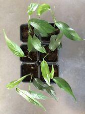 Epipremnum Pinnatum (Philodendron, Monstera) P.st