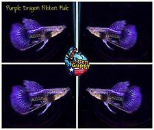 New listing 1 Pair - Premium Grade Live Guppy Fish Purple Dragon Ribbon