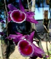 Dendrobium Wina Loo    (Den. polyanthum x parishii)