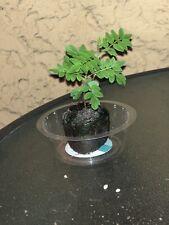 Blue Jacaranda Tree Live Plant Jacaranda Mimosifolia Starter Plug Draft Garden