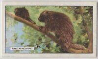 Canadian Tree Porcupine c80 Y/O Trade Ad Card