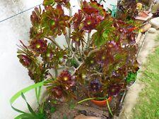 plantas alcachofa ,planta lote de 2 secciones con mucho de rosetas=fotos