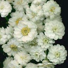 50+ Achillea The Pearl Flower Seeds / Perennial