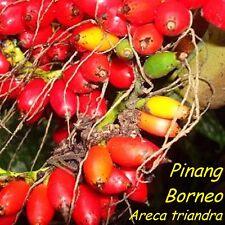 ~TRIANDRA PALM~ Areca triandra Pinang Borneo Most cold hardy of Arecas 20+ SEEDS