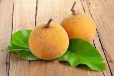 5 SEED Sandoricum koetjape santol santul santor yellow Fruit Seeds
