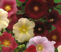 HOLLYHOCK INDIAN SPRING MIXED COLORS Alcea Rosea - 300 Bulk Seeds