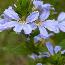 SCAEVOLA crassifolia Thick-leaved Fan Flower Seeds (N 104)