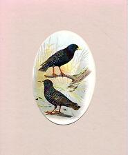 OVAL-MOUNTED CHROMO LITHO BIRD PRINT - STARLINGS - WYMAN & SONS(c1870)
