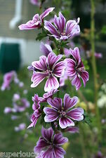 UNIQUE Malva Zebrina 40 Seed fresh Mauve SYLVESTRIS Perennial COMB S/H FREE GIFT