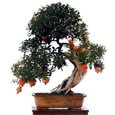 20Pcs Pomegranate Seed Sweet Delicious Fruit Succulents Tree Bonsai Garden BT109