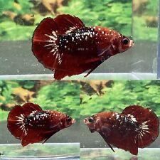 Live Betta Fish Male Koi Nemo Copper Galaxy HMPK # CC26