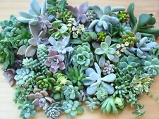 Succulent Cuttings Pack - Mixed 20