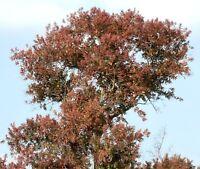 der FLUSSBUSCHBAUM hat farbenprächtige Blätter und Blüten