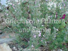 🔥🌿 Bergbohnenkraut  mehrjährig Thymbra-Bergminze Thymian 30 frische Samen
