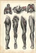 Stampa antica ANATOMIA APPARATO GENITALE GAMBE medicina 1850 Old Antique print