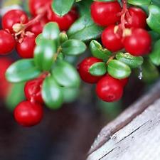 100Pcs Cranberry Berry Seeds Rare Kind Pereninal Shrubbery Plant Garden Bonsai