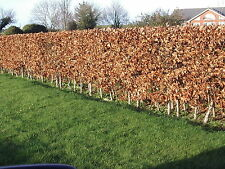 1 Green Beech Hedging Plant 2 Year Old, 1-2ft Grade 1  Hedge Trees 40-60cm