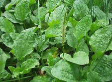 400 Plantago major seeds (Broadleaf Plantain). Plantain herb. Organic
