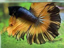 New listing live betta fish male Halfmoon Fancy Copper Mustard Video In Description.