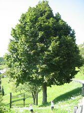 Tilia platyphyllos LINDEN TREE Seeds!