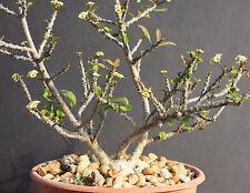 Euphorbia MILLII V TENUISPINA exotic color madagascar rare bonsai seed 10 seeds