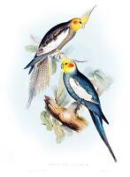 "Vintage John Gould Australian Bird Art CANVAS PRINT~ Cockatiel 24""X18"""
