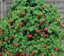 Red Cascade Raspberry 3 x 9cm plants(hanging basket raspberry)