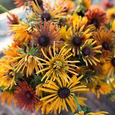 Chim Chiminee Mix  Rudbeckia Seed 200 seeds