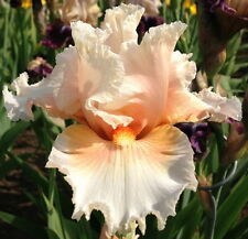 "TALL BEARDED IRIS GERMANICA ""TROPICAL PASSION"" Delivery August/September"