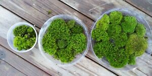 Pin Cushion moss. Great little mosses for terrarium culture, fairy gardens 100g