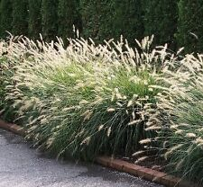 FOUNTAIN GRASS SEEDS PENNISETUM ALOPECUROIDES SEED ORNAMENTAL GRASS 60 SEED PACK
