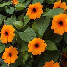 125 BLACK EYED SUSAN VINE Thunbergia Alata Flower Seeds - **Gift** - COMB S/H