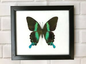 Green Peacock Swallowtail Papilio Blumei Butterfly Insect Picture Display Frame