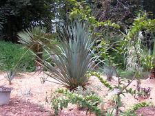 1 PLANT Dasylirion berlandieri SUCCULENT PLANT garden ornamental plant no agave