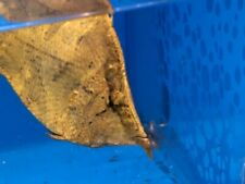 """Leaf fish 3""""in length live tropical fish"""