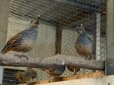 30 + Texas Blue Scale Quail Hatching Eggs (shipping now)