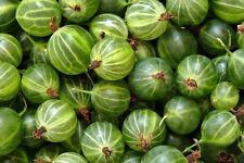 Gooseberry green ball (Kruzhovnik) Seeds Berries Seed