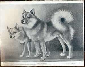 FINNISH SPITZ  DOG PAGES FROM HUTCHINSONS ENCYCLOPAEDIA 1930'S