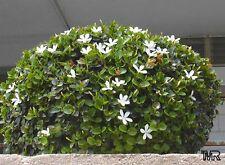 Carissa macrocarpa( 5 graines)