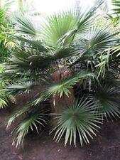Coccothrinax crinita ( 3 ) Seedlings Palm Tree Live Tropical Rare