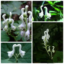 100pcs Rare Swan Flowers Seeds Special Flower seeds White Flowers Decor