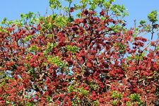 Baum-Fuchsie•7 Samen/seeds•Schotia brachypetala•Tree Fuchsia
