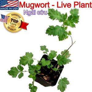 MUGWORT Ngai Cuu Yomogi Artemisinin Artemisia Argyi Silvery Wormwood Live Plants